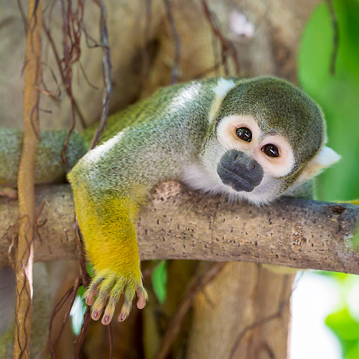 PRM 02 KH0025 01 © Kimball Stock Common Squirrel Monkey In South America