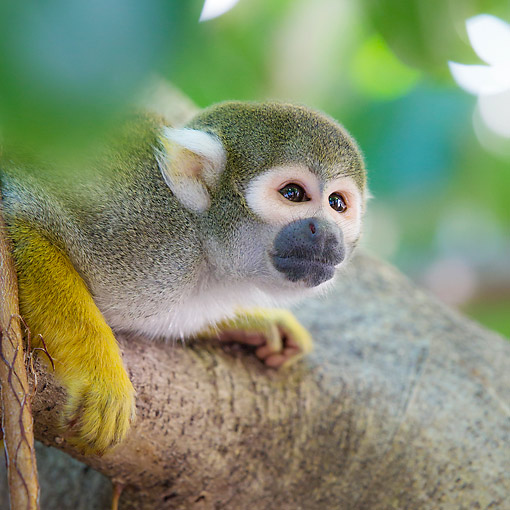 PRM 02 KH0026 01 © Kimball Stock Common Squirrel Monkey In South America