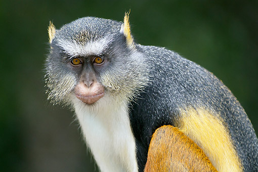 PRM 02 LS0001 01 © Kimball Stock Portrait Of Wolf's Guenon  Monkey