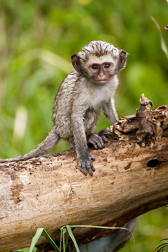 PRM 02 MC0002 01 © Kimball Stock Baby Vervet Monkey Sitting On Log In Jungle Tanzania