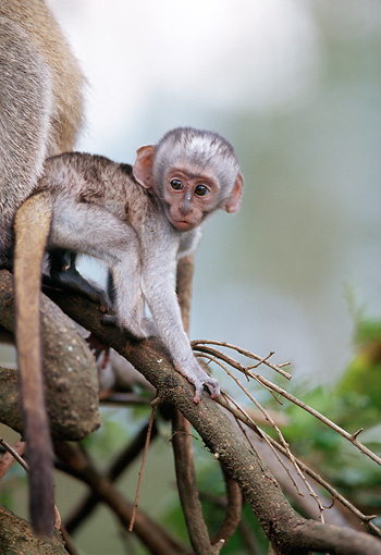 PRM 02 MC0004 01 © Kimball Stock Baby Vervet Monkey Climbing On Tree Branch Kenya