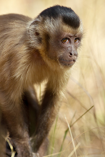 PRM 02 MC0012 01 © Kimball Stock Close-Up Of Brown Capuchin  Brazil