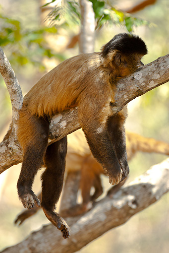 PRM 02 MC0014 01 © Kimball Stock Brown Capuchin Relaxing On Tree Branch Brazil