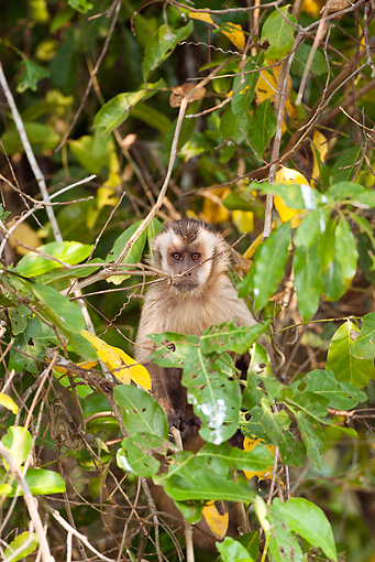 PRM 02 MC0015 01 © Kimball Stock Brown Capuchin Sitting In Tree Brazil