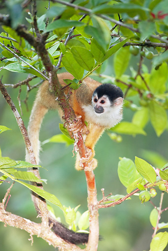 PRM 02 MC0019 01 © Kimball Stock Central American Squirrel Monkey Climbing Tree Costa Rica