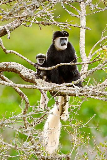 PRM 02 MC0020 01 © Kimball Stock Black And White Colobus Monkey Mother And Baby Sitting In Tree