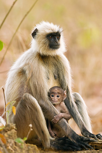 PRM 02 MC0024 01 © Kimball Stock Hanuman Langur Adult With Baby Kanha National Park In Madhya Pradesh, India