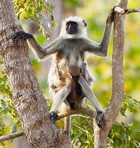 PRM 02 MC0025 01 © Kimball Stock Hanuman Langur Adult With Baby Kanha National Park In Madhya Pradesh, India