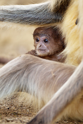 PRM 02 MC0026 01 © Kimball Stock Hanuman Langur Baby With Adult Kanha National Park In Madhya Pradesh, India