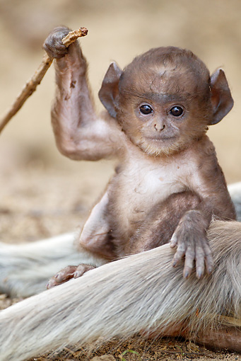 PRM 02 MC0027 01 © Kimball Stock Hanuman Langur Baby With Adult Kanha National Park In Madhya Pradesh, India