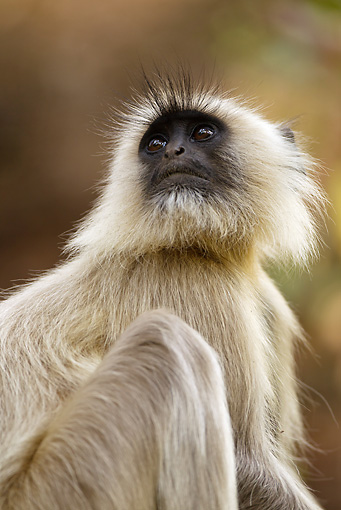 PRM 02 MC0029 01 © Kimball Stock Hanuman Langur In Bandhavgarh National Park In Madhya Pradesh, India