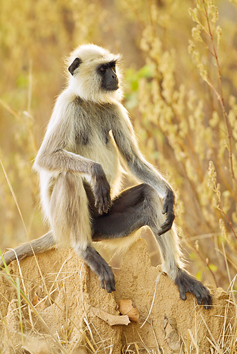 PRM 02 MC0031 01 © Kimball Stock Hanuman Langur Sitting On Rock Kanha National Park, Madhya Pradesh, India