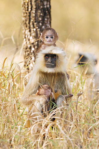 PRM 02 MC0033 01 © Kimball Stock Hanuman Langur With Two Babies In Pench National Park, Madhya Pradesh, India