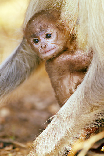 PRM 02 MC0036 01 © Kimball Stock Hanuman Langur Baby Clinging To Adult In Pench National Park, Madhya Pradesh, India