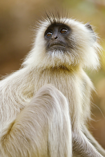 PRM 02 MC0038 01 © Kimball Stock Portrait Of Hanuman Langur In Bandhavgarh National Park, Madhya Pradesh, India