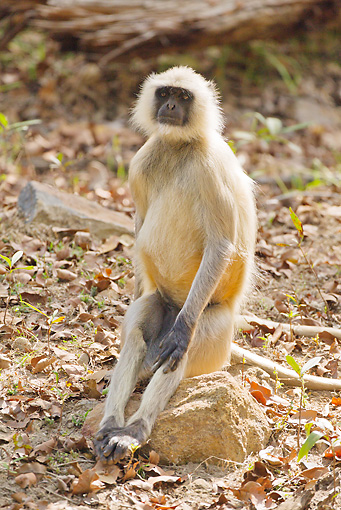 PRM 02 MC0039 01 © Kimball Stock Hanuman Langur Sitting On Rock Bandhavgarh National Park, Madhya Pradesh, India
