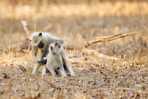 PRM 02 MC0041 01 © Kimball Stock Hanuman Langur Grooming Another Bandhavgarh National Park, Madhya Pradesh, India