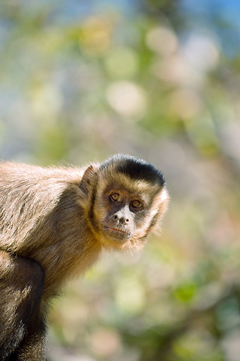 PRM 02 MC0046 01 © Kimball Stock Portrait Of Brown Capuchin In Central Plateau, Piaui, Brazil