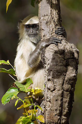 PRM 02 MC0048 01 © Kimball Stock Hanuman Langur Clinging To Tree Trunk In Kanha National Park, Madhya Pradesh, India