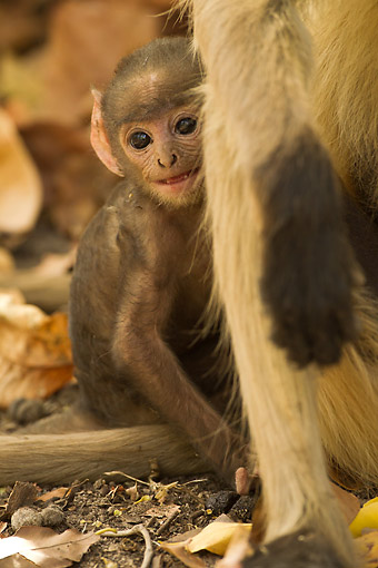 PRM 02 MC0049 01 © Kimball Stock Langur Monkey Baby With Adult Female In India