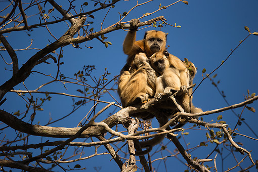PRM 02 MC0052 01 © Kimball Stock Black Howler Monkey Sitting In Tree, Brazil