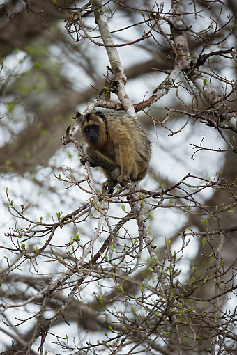 PRM 02 MC0053 01 © Kimball Stock Black Howler Monkey Sitting In Tree, Brazil