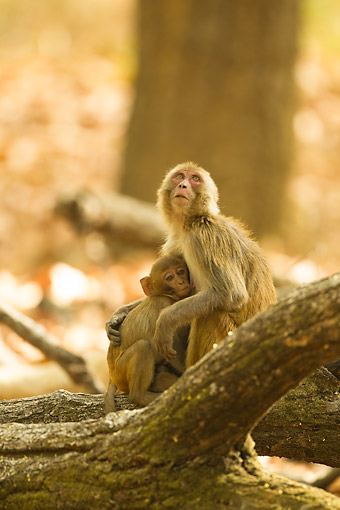 PRM 02 MC0055 01 © Kimball Stock Rhesus Macaque Monkey Sitting With Young On Logs, India