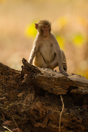 PRM 02 MC0056 01 © Kimball Stock Rhesus Macaque Monkey Young Sitting On Log, India