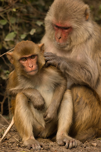PRM 02 MC0058 01 © Kimball Stock Rhesus Macaque Adult Grooming Young, India