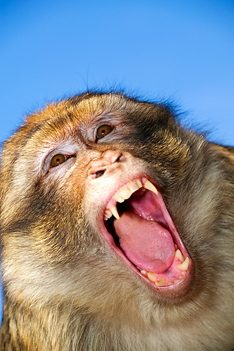 PRM 02 MH0005 01 © Kimball Stock Close Up Of Barbary Macaque With Mouth Open