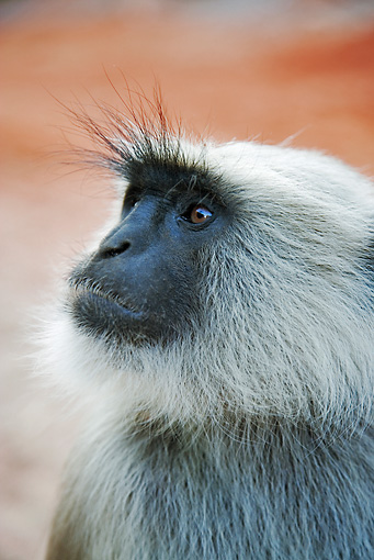 PRM 02 MH0014 01 © Kimball Stock Head Shot Of Hanuman Langur