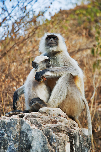 PRM 02 MH0015 01 © Kimball Stock Close Up Of Mother and Baby Hanuman Langur Sitting On Rock