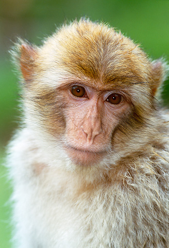 PRM 02 MH0016 01 © Kimball Stock Portrait Of Barbary Macaque