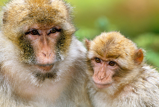 PRM 02 MH0017 01 © Kimball Stock Portrait Of Barbary Macaque Mother With Baby