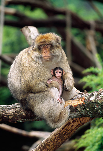 PRM 02 MH0018 01 © Kimball Stock Portrait Of Barbary Macaque Mother Sitting On Log With Baby