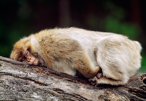 PRM 02 MH0019 01 © Kimball Stock Barbary Macaque Sleeping On Log