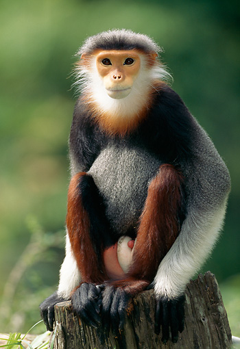 PRM 02 MH0023 01 © Kimball Stock Red-Shanked Douc Langur Sitting On Stump
