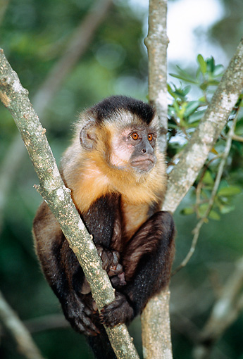 PRM 02 MH0024 01 © Kimball Stock Portrait Of Brown Capuchin Sitting In Tree