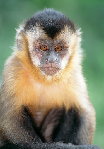 PRM 02 MH0025 01 © Kimball Stock Portrait Of Young Brown Capuchin Sitting