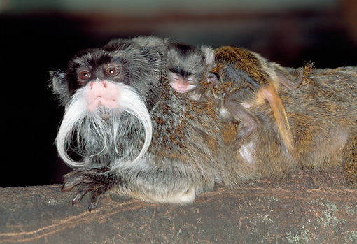 PRM 02 MH0026 01 © Kimball Stock Emperor Tamarin With Infant On Back At Night