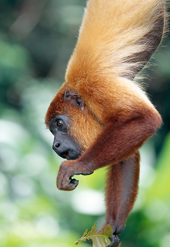PRM 02 MH0027 01 © Kimball Stock Portrait Of Red Howler Monkey Using Prehensile Tail To Hang From Branch