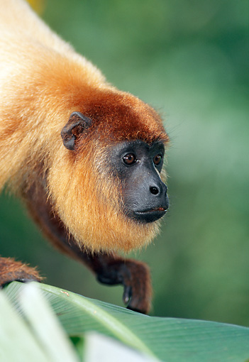 PRM 02 MH0028 01 © Kimball Stock Portrait Of Red Howler Monkey Climbing In Tree
