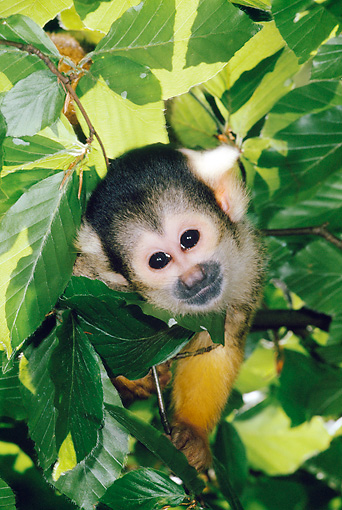 PRM 02 MH0031 01 © Kimball Stock Portrait Of Squirrel Monkey In Tree South America