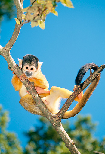 PRM 02 MH0032 01 © Kimball Stock Portrait Of Squirrel Monkey Clinging To Tree South America