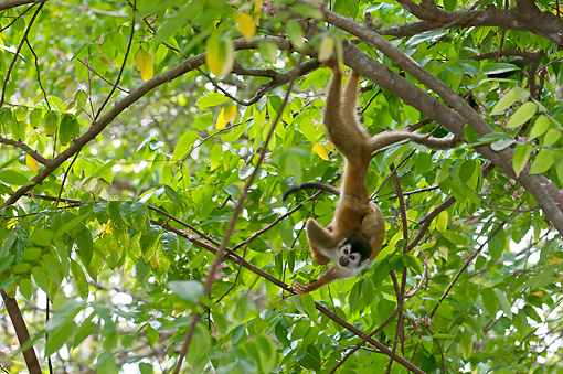 PRM 02 NE0007 01 © Kimball Stock Squirrel Monkey Hanging From Tree Branch Costa Rica