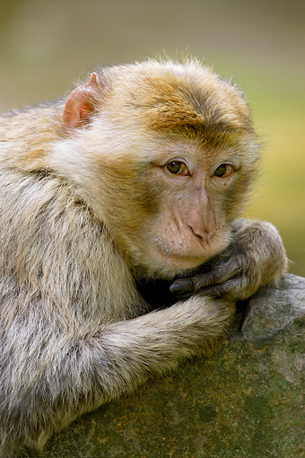 PRM 02 WF0002 01 © Kimball Stock Portrait Of Young Barbary Macaque Leaning On Rock