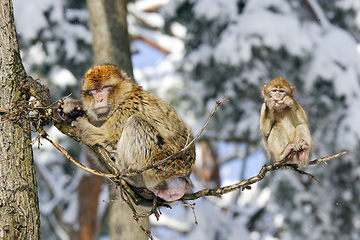 PRM 02 WF0003 01 © Kimball Stock Barbary Macaque Mother And Young Sitting On Tree Branch