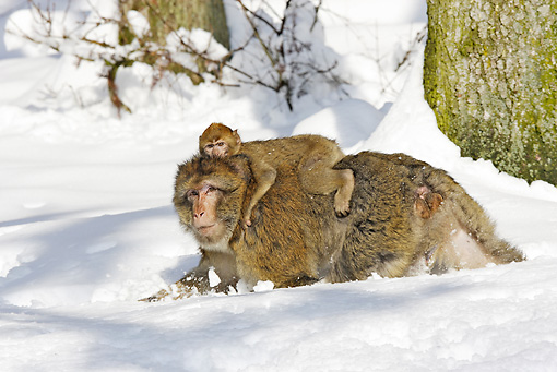 PRM 02 WF0004 01 © Kimball Stock Barbary Macaque Mother Walking On Snow With Young On Back