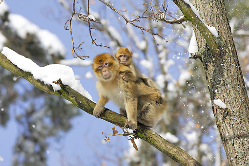 PRM 02 WF0005 01 © Kimball Stock Barbary Macaque Mother Sitting On Tree Branch With Young On Back