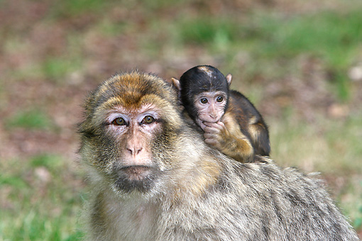 PRM 02 WF0006 01 © Kimball Stock Close-Up Of Barbary Macaque Mother With Young On Back